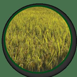 Imagem das sementes IRGA 424 RI