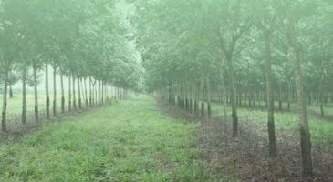 Plantio de Seringueira e Eucalipto
