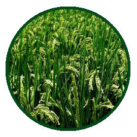 Imagem das sementes BRS Pampeira