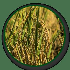 Imagem das sementes ANa9005 CL