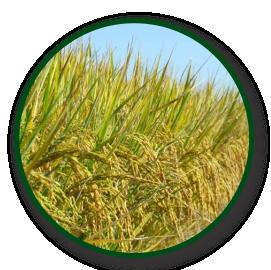 Imagem das sementes IRGA 431 CL