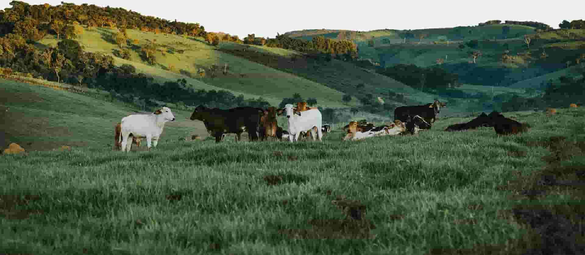 Imagem de um pasto com um gado